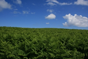 Isn't that amazing? That's all Bracken Fern as far as the eye can see!