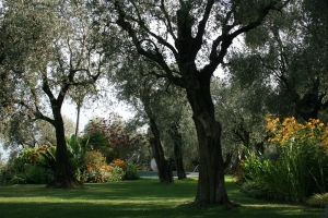 This is looking down the main lawn with the beautiful olive trees at La Mouissone.