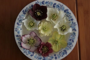Here's a bowl of the hellebore varieties I have in the garden. The white flower in the 3 o'clock position is the original plant, and other two at 10 and 2 o'clock are its children.