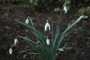 The snowdrops have bulked up a little, but I just wish the sweet flowers weren't so appealing to slugs.
