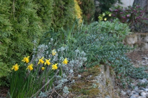 Looking towards the hellebore bed, the ever cheerful tête-à-tête daffodils have started to bloom.