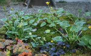 Here the ranunculus have started to bloom and even the Primula veris.