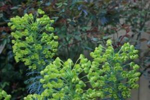 I love the burgundy tint of the new foliage of Rosa 'Mutabilis' against the acid green flowers of Euphorbia wulfenii.