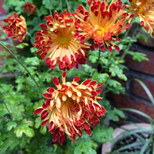 Here is Chrysanthemum 'Matchsticks' - a new acquisition - in a blaze of scarlet and gold.