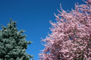 One of my favorite sights this spring was seeing the icy teal blue spruce and soft pink plumes of cherry blossoms against the wonderfully blue sky.