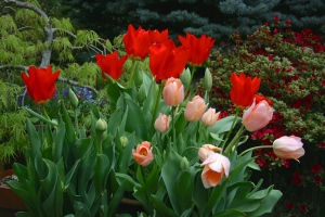 The (late) potted tulips sailed through the mild winter and began blooming a month early with a riot of color.