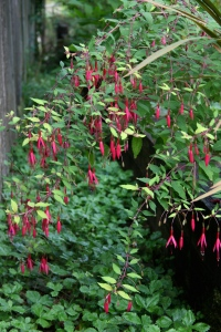 Without a hard freeze over the winter Fuchsia magellanica 'Aurea' was quick to bloom this year.
