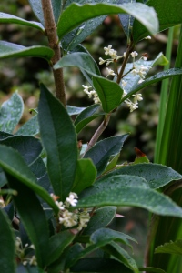 I could never grow tired of smelling the sweet, yet fresh apricot scent of Osmanthus fragrans. It lives in a pot by the doorway where its wafting fragrance can be enjoyed.